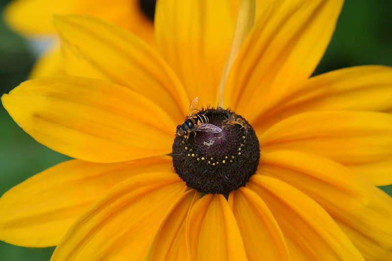Rudbeckia & Bee