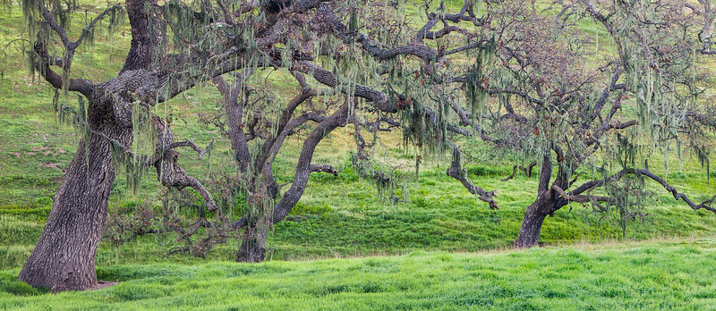Oaks_Moss_Central_California_Coast_Panoramic_1651.jpg