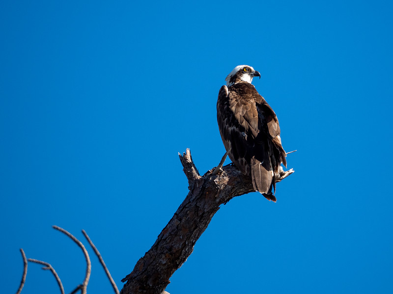 Osprey under Blkue Sky