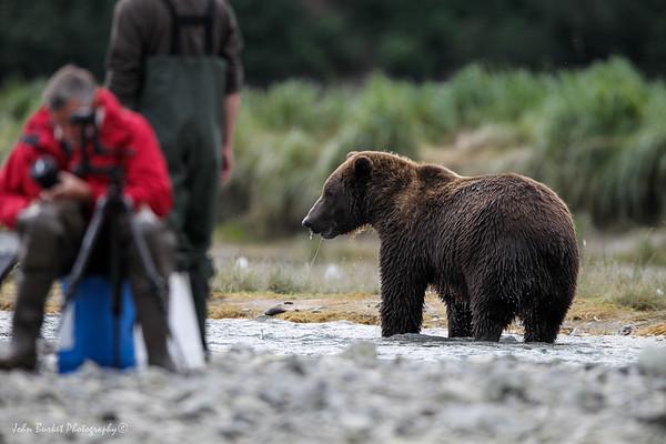 Grizzlies of the Katmai Coast