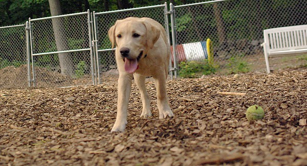 PICS JUNE 26::FRASER (lab pup)