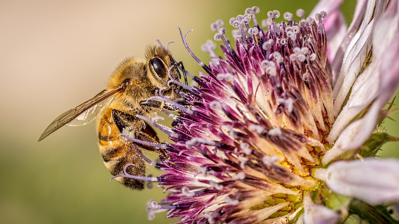 01 00192 Honey Bee on Purple Flower 0006 16x9.jpg