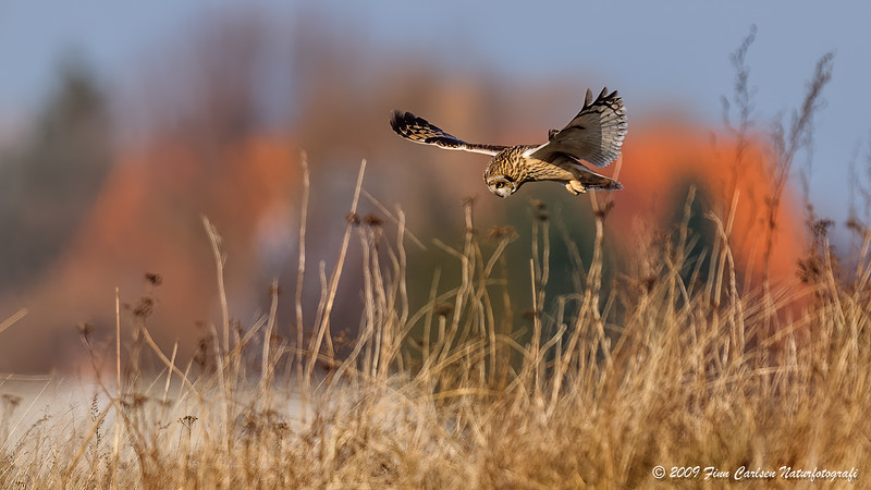 Mosehornugle (Asio flammeus - Short-eared Owl)