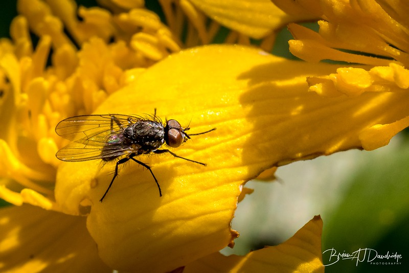 Fly on a Marsh-Marigold