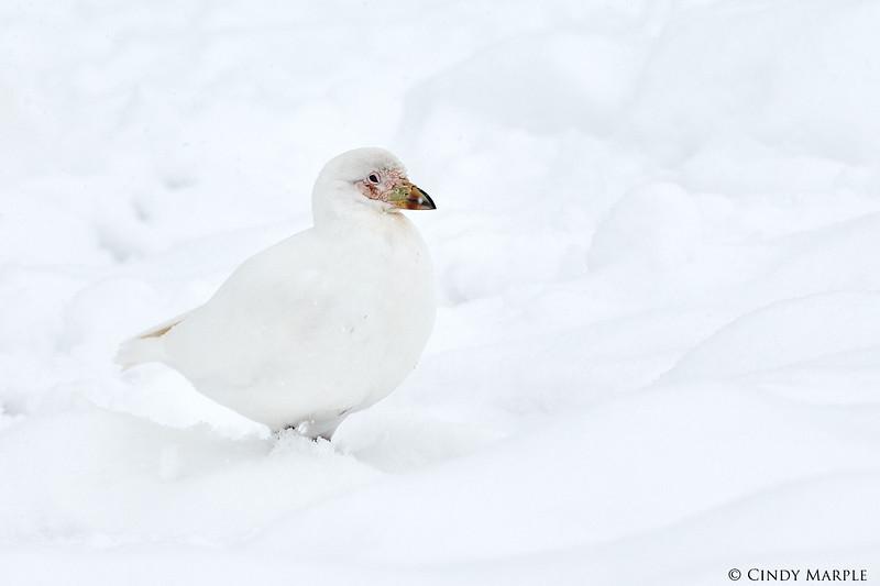 Snowy_Sheathbill_3.jpg
