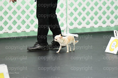 Little Chihuahua