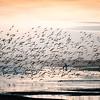 Migrating redknots, Kiawah Island