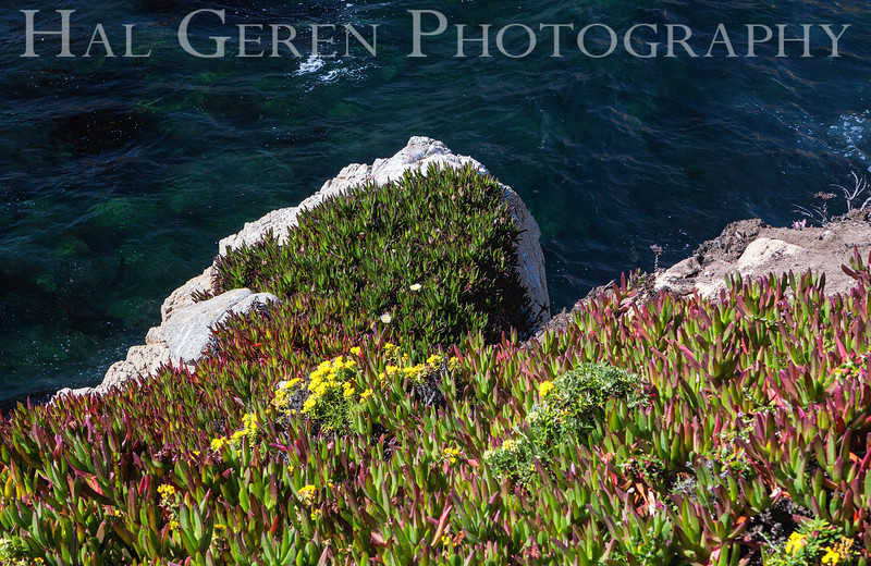 Iceplant  Garrapata Creek Headlands Big Sur, California 1206BS-F15E1