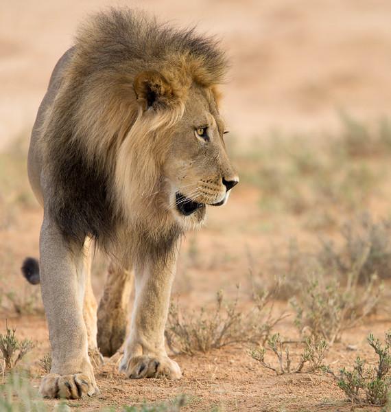 Male lion, Kalahari Desert