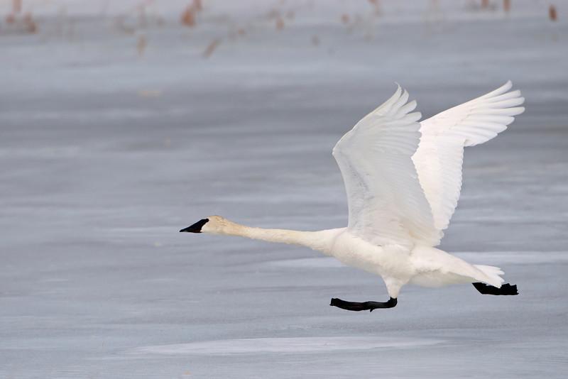 Swan - Trumpeter - Mud Goose WMA - MN - 04