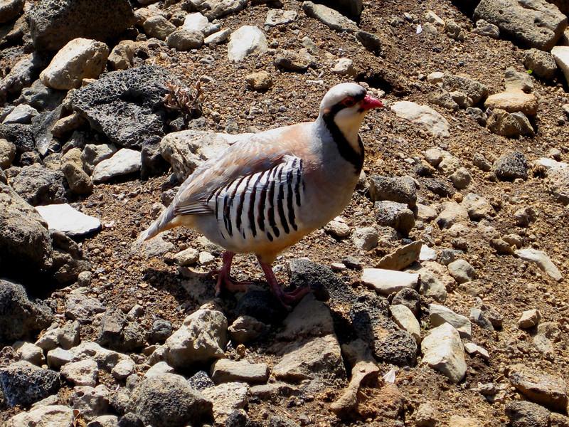chukar (Alectoris chukar) in Haleakala National Park (Crater District)