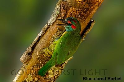 Blue-eared Barbet, Keang Krachan National Park, Thailand