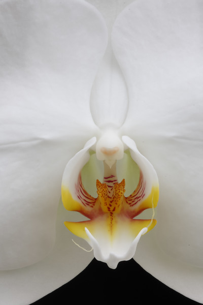 Phalaenopsis Taisuco Kochdian