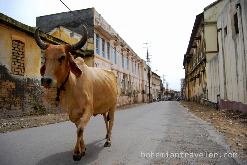 cow in the street of Junagadh (2).jpg