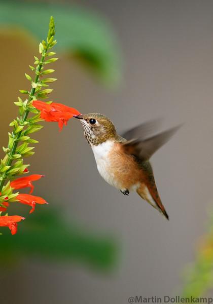 Rufous Hummingbird juvenile and Salvia subrotunda