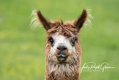 Farm Animals - Horse | Donkey | Calf | Sheep | Lama | Alpaca | Pig