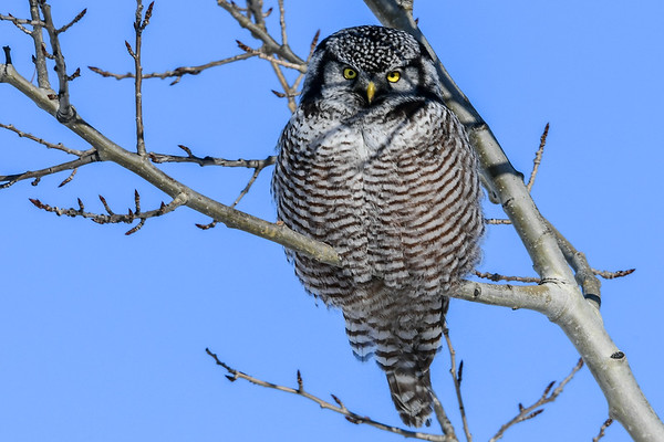 2-8-17 Northern Hawk Owl - Favourite Perches