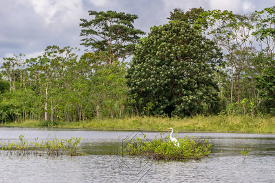 White stork in the river reeds on the Amazon