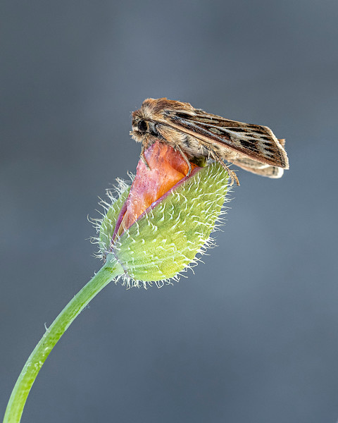 Antler moth on Welsh poppy