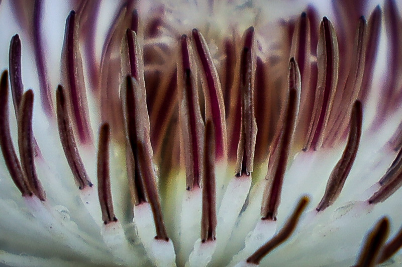 May 8 - Yep, you guessed it--it is a Clematis Patens.jpg