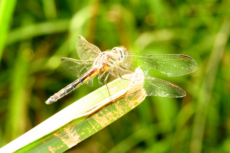 dragondfly2187.JPG