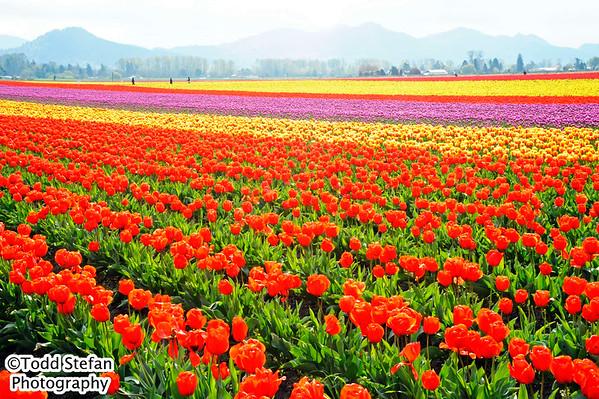 04-03-2015 Tulip Fields