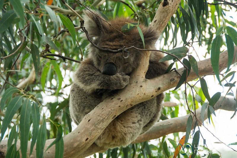 Koala asleep in the trees at Kennett River