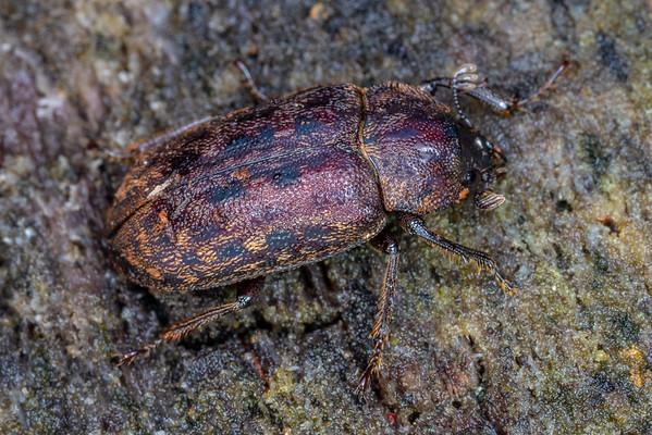 Mitophyllus parrianus