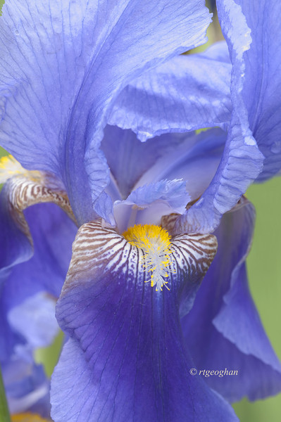 Bearded Iris Lake Huron