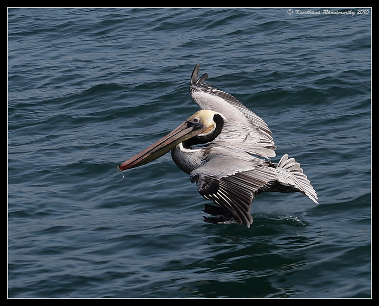 Brown Pelican landing, Oceanside Pelagic Trip, San Diego County, California, January 2010