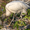 Wood stork looking for some snack