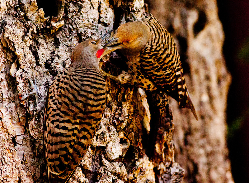 Northern Flicker Mammoth Lakes 2009 07 21 (6 of 7).CR2