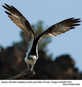 OspreyA1073.jpg
