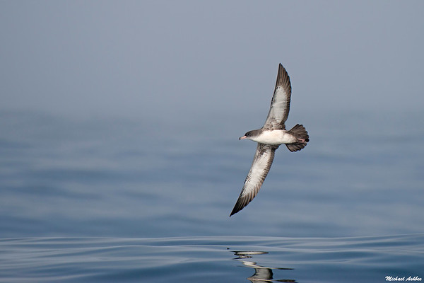 Pink-footed Shearwater (Rare Vagrant)