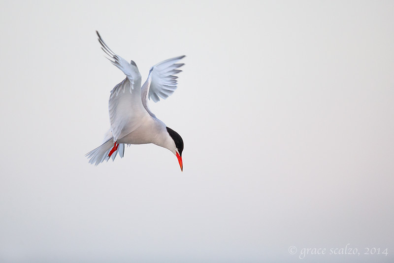 Common Tern Adult