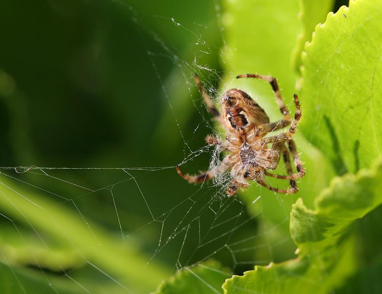 1679 Spider.jpg