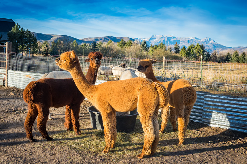 wlc Corinna Porter Alpacas235November 19, 2016.jpg