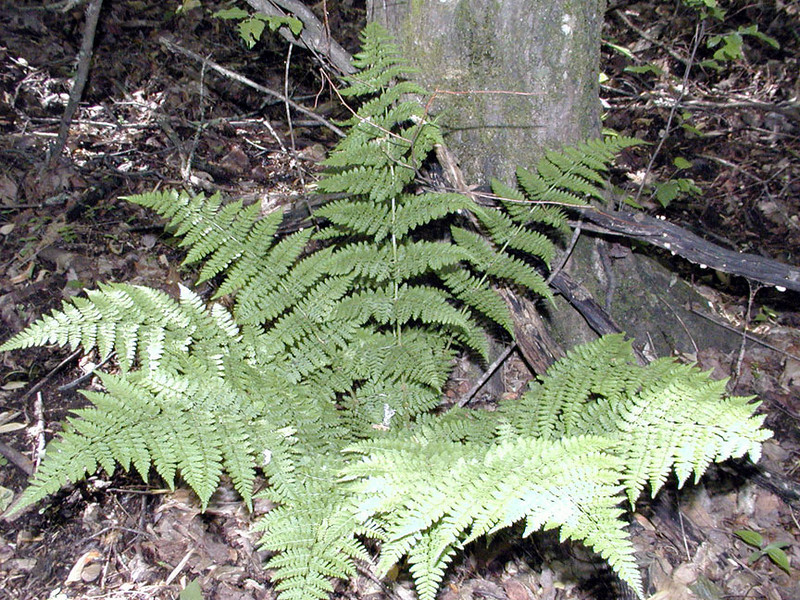 Mountain Wood Fern growing along a stream near the Little Brier Gap Trail This fern is more difficult to identify by appearance alone. I carried a magnifying glass and took photos of the underside of the leaf for the shape of the divisions of the leaflets and the pattern of the sporangia and indusia. Dryopteris campyloptera Dryopteridaceae GSMNP TN 5/09