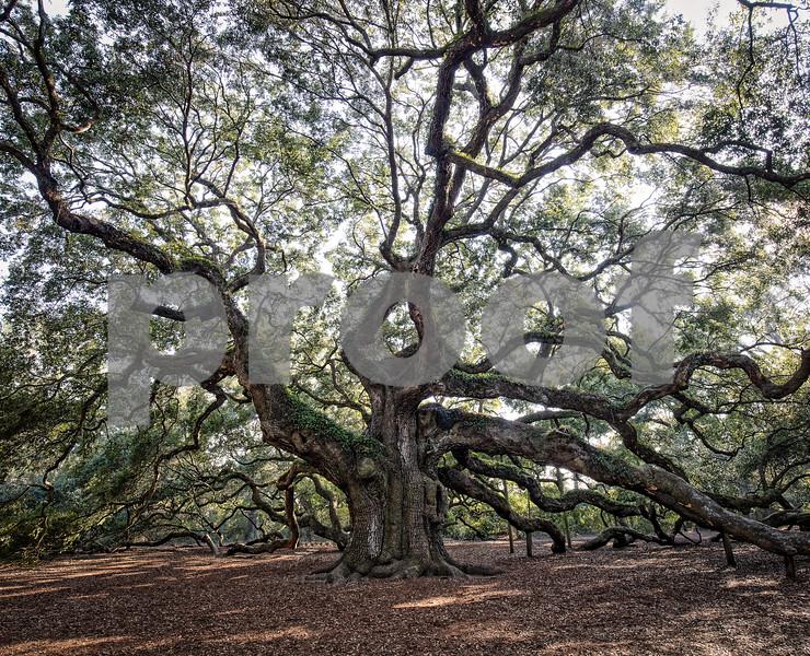Angel Oak Tree Fine Art (1 of 3).jpg