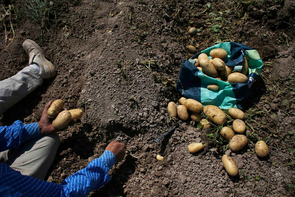 """. A \'rebuscador\' (gleaner) digs for potatoes at a field that has already been harvested in the southern Spanish region of Murcia June 7, 2013.  Gleaning, or gathering leftover produce after a harvest, is a traditional practice in rural areas, but has become more common since the economic crisis hit. \""""As long as they do it once we have harvested, we don\'t care. The discarded produce is fit to eat, it just didn\'t meet our standards for our clients\"""" Spanish farmer Santiago Perez explains. The majority of day labourers in the region come from Morocco and Ecuador, and it can be rare to see Spanish labourers in the fields. Nevertheless, as Spain wrestles with economic crisis and youth unemployment levels above 50 percent, some young Spaniards are starting to consider the kinds of jobs mostly performed by immigrants during the boom years. Picture taken June 7, 2013. REUTERS/Susana Vera"""
