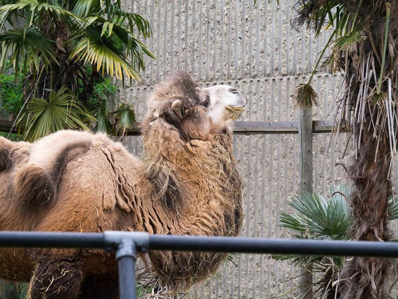 Camel at London Zoo