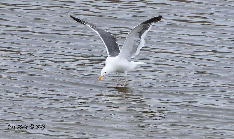 Western Gull - 4/9/2016 - Del Mar, PQ Creek mouth
