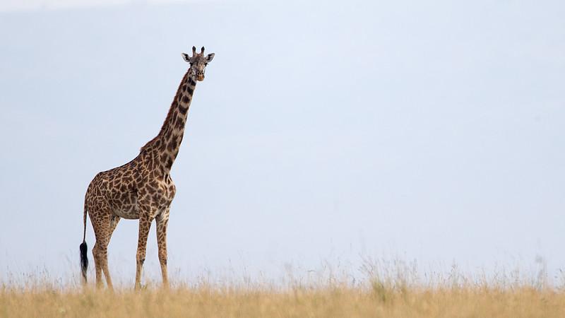 AF1T7329_masai_giraffe.jpg