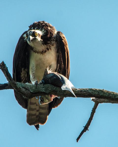Osprey w fish-2.jpg