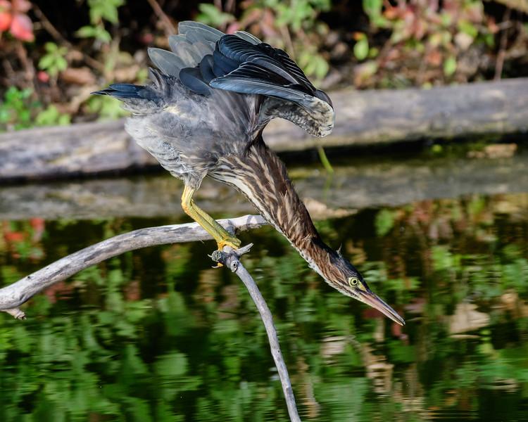 Green Heron-3617.jpg