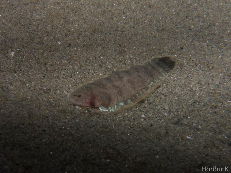 California toungefish
