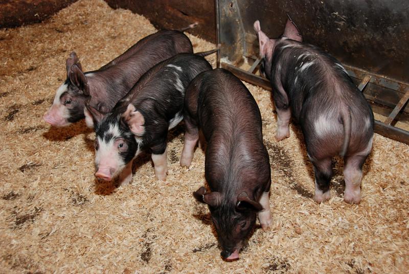 baby pigs2527.jpg
