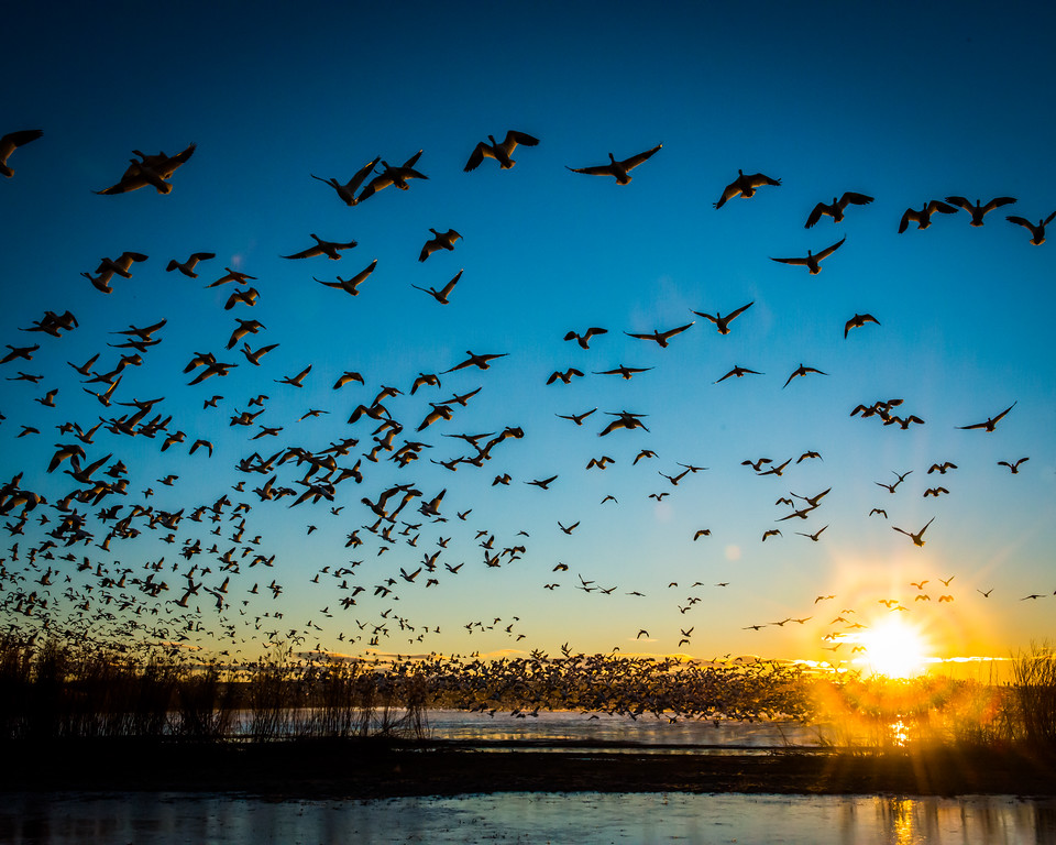 snow geese flyout in front of the sun