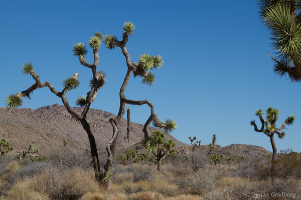 Joshua Tree, dancing