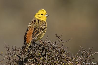 Introduced Songbirds
